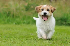 jack russell in grass