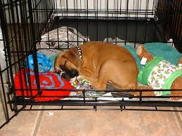 boxer puppy in crate