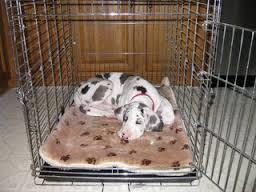 dog in crate great dane