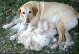Dog shedding lab Wagging Tails Pet Sitting & Mobile Grooming in CT