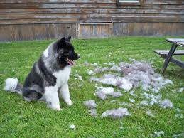 shedding dog Wagging Tails Pet Sitting & Mobile Grooming in Connecticut
