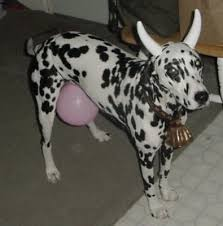 dalmation cow pet costume