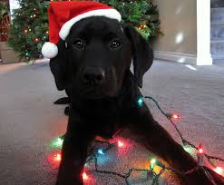 lab with christmas lights wagging tails pet sitting and mobile grooming