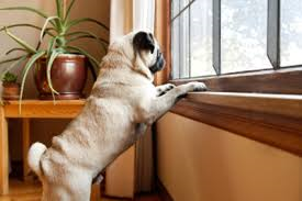 pug-separation-anxiety-wagging-tails-pet-sitting-dog-walking-grooming-west-hartford-ct