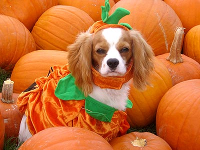 dog-pumpkin-halloween-wagging-tails-pet-sitting-mobile-grooming-dog-walking-cat-sitting-pet-waste-removal