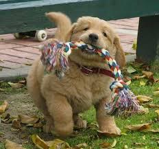 puppygolden