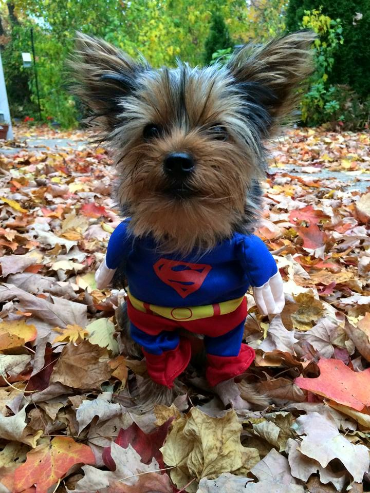 yorkie-superdog-costume-wagging-tails-pet-sitting-mobile-grooming-connecticut